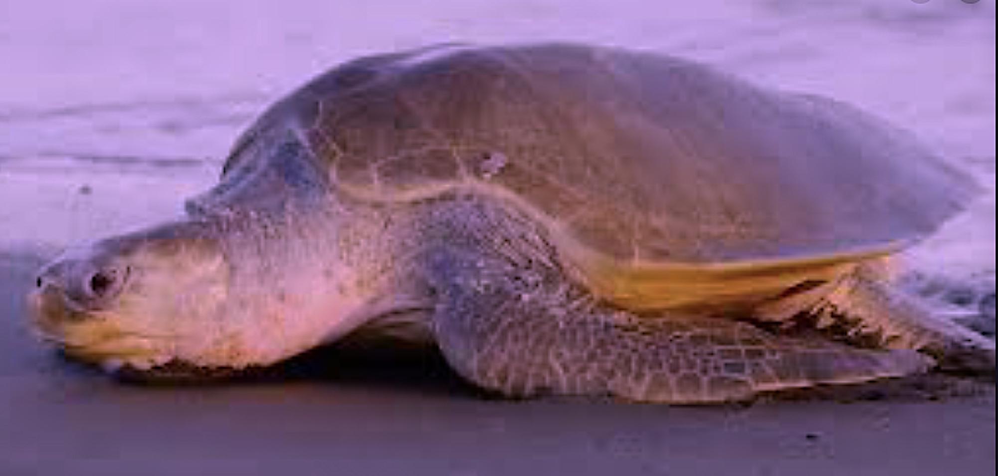 Schutz Meeresschildkröten Costa Rica